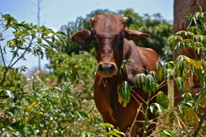 Greenhouse gas emissions from African cattle excreta less than estimated