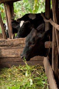 Stall-fed dairy cattle (photo credit: ILRI/Nils Teufel)