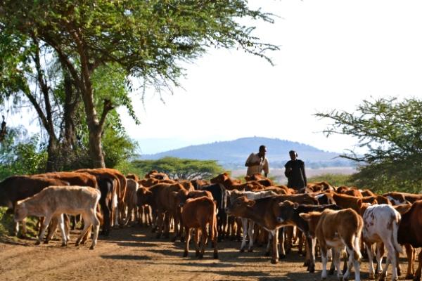cattleherdinkenya_byc-schubert-ccafs1.jpg?w=600&h=400